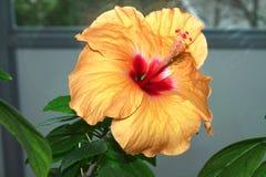 Hibiscus rosa chinensis Stock Photo