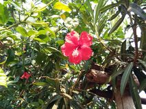 Hibiscus rosa. Flower and it called semparuthi in tamil red cute flower Stock Photo