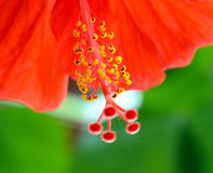 Hibiscus (rosa-malva) Imagens de Stock