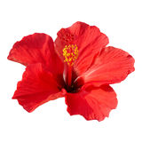 Hibiscus rosa sinensis. Red flower- Hibiscus rosa sinensis, isolated on white stock photos