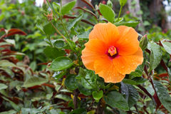 Hibiscus Rosa-Sinensis Stockfoto