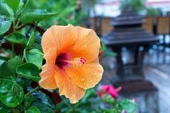 Hibiscus Rosa-Sinensis Lizenzfreie Stockbilder