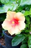Hibiscus Rosa Sinensis. Στοκ εικόνες με δικαίωμα ελεύθερης χρήσης