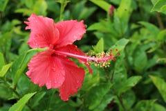 Hibiscus rosa-sinensis imagem de stock