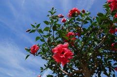 Hibiscus rosa-sinensis Stock Foto's
