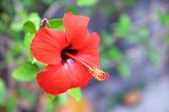 Hibiscus rosa-sinensis Stock Afbeeldingen