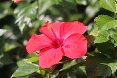 Hibiscus rosa-sinensis Fotos de Stock