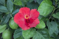 Hibiscus Rosa-sinensis. Beautiful res flowers Hibiscus rosa-sinensis in the garden Stock Photography