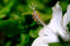 Hibiscus rosa sinensis bianco di stami dell'ibisco e polle giallo Fotografia Stock