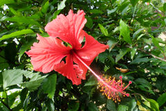 Hibiscus rosa-sinensis Stock Photos