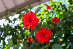 Hibiscus rosa-sinensis 'Brilliant'. With vibrant red Stock Photos