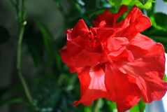Hibiscus rosa-sinensis, Chinese hibiscus, China rose, Hawaiian hibiscus, rose mallow, shoeblackplant red flower, green leaves. Soft blurry dark background stock photo