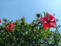 Hibiscus rosa sinensis with clear sky. Hibiscus rosa-sinensis with clear sky. Hibiscus rosa-sinensis with leaves on bright sky for nature and floral background stock photo