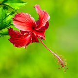 Hibiscus rosa sinensis close-up Royalty Free Stock Image