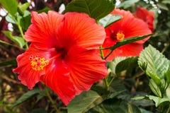 Hibiscus rosa sinensis Royalty Free Stock Image