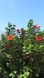 Hibiscus rosa-sinensis. Egypt. Hibiscus rosa-sinensis, known colloquially as Chinese hibiscus, China rose, Hawaiian hibiscus, and shoeblackplant, is a species of royalty free stock image