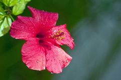 Hibiscus rosa-sinensis flower Royalty Free Stock Image