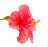 Hibiscus rosa sinensis  flower Royalty Free Stock Photos