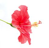 Hibiscus rosa sinensis  flower Stock Photography
