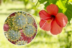 Hibiscus rosa-sinensis flower with close-up view of its pollen grains. 3D illustration. Inspite of unusual spiky appearance of pollen grain, Hibiscus belongs stock illustration