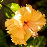 Hibiscus rosa-sinensis, flower of the medicinal plant. In a closeup Royalty Free Stock Photography