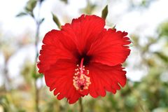 Hibiscus rosa-sinensis flowers on blurred background royalty free stock images
