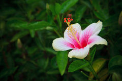 Hibiscus rosa-sinensis flower on tree in the garde Royalty Free Stock Photography