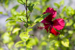 Hibiscus rosa sinensis Royalty Free Stock Photography