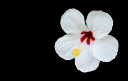 Hibiscus rosa-sinensis isolated on black background with copy sp. Ace Royalty Free Stock Photos