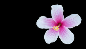 Hibiscus rosa-sinensis isolated on black background with copy sp Royalty Free Stock Photos