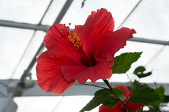 Chinese Hibiscus `Brillant`. Hibiscus rosa-sinensis, known colloquially as Chinese hibiscus, China rose, Hawaiian hibiscus, and shoeblackplant, is a species of Stock Photo