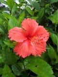 Hibiscus rosa-sinensis L. Malvaceae, Hibiscus, Rose of China, Pua aloalo stock photo