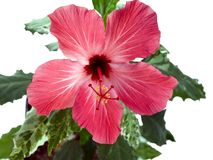 Hibiscus rosa-sinensis L. pink. Pink hibiscus flower and green leaves against white background. lepestik rayed Stock Photo