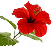 Hibiscus  rosa-sinensis L. red. Isolated red hibiscus with five yellow stamen Stock Image
