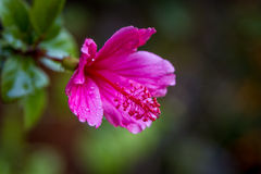 Hibiscus rosa-sinensis, lilac-pink flower Royalty Free Stock Image