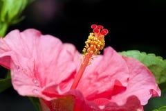 Hibiscus Rosa-sinensis Malvaceae Στοκ Εικόνες