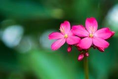 Hibiscus Rosa Sinensis in morning Royalty Free Stock Photos