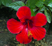 Hibiscus rosa sinensis. Red flower of Hibiscus rosa sinensis royalty free stock photography