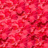 Hibiscus rosa-sinensis red flower, known as Chinese hibiscus, China rose, Hawaiian hibiscus, shoeblackplant Royalty Free Stock Photography