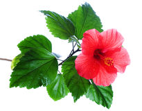 Hibiscus rosa-sinensis red Royalty Free Stock Photo