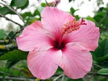 Hibiscus rosa sinensis. Hibiscus rosa-sinensis is a scientific binomial that can be translated from Latin Scientific as `Pink Hibiscus Stock Photography