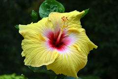 Hibiscus rosa-sinensis, shoe flower, china rose Royalty Free Stock Images