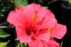 Hibiscus Rosa-sinensis u. x27; Rosa Versicolor& x27; Stockfotografie