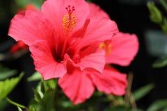 Hibiscus Rosa-sinensis u. x27; Rosa Versicolor& x27; Stockfoto