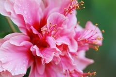 Hibiscus rosa sinensis varietà rubro-plenus Fotografia Stock Libera da Diritti