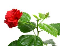 Hibiscus rosa. Sinensis on white background Royalty Free Stock Photos