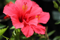 Hibiscus rosa-sinensis 'Pink Versicolor' Stock Photo