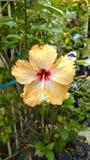 Hibiscus rosa-sinensis. Yellow Hibiscus rosa-sinensis in the garden Stock Images