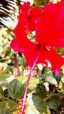 Hibiscus rosasinensis Stockbild