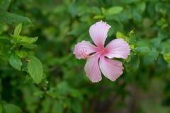 Hibiscus Rose Flower stock fotografie